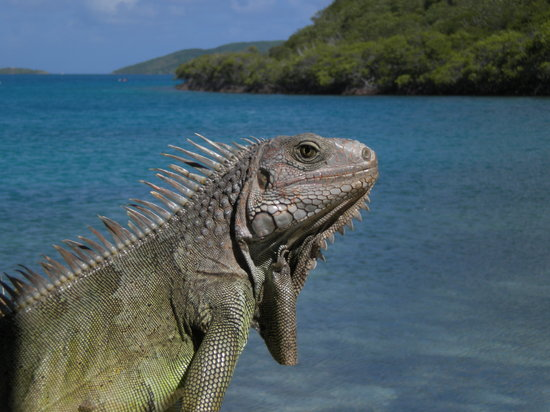 North Sound, Virgin Gorda: Iguana down by the docks
