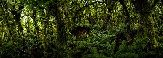 Fiordland, New Zealand: Primeval Forest