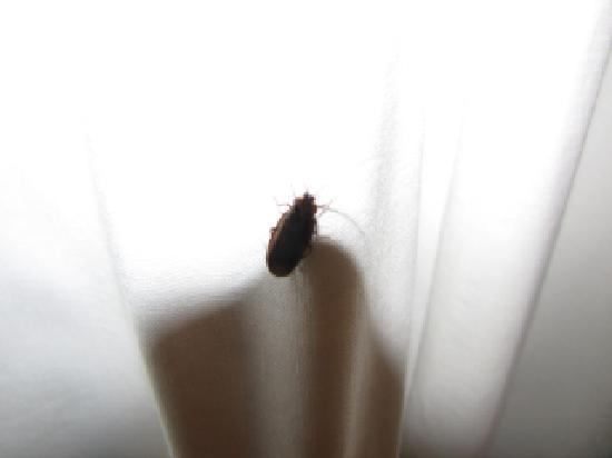 Tahoe Vistana Inn: bug on curtain