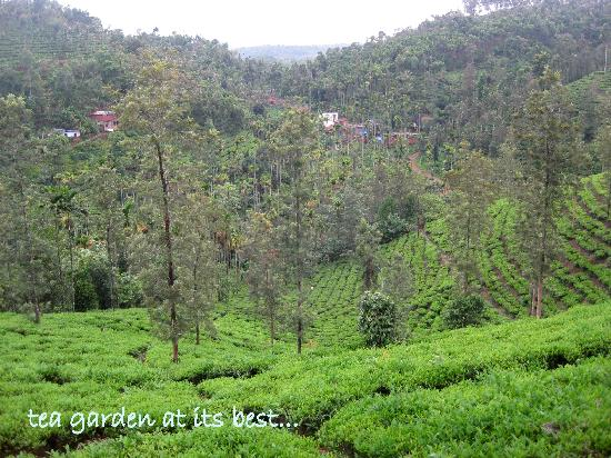 Kalpetta, India: tea garden view
