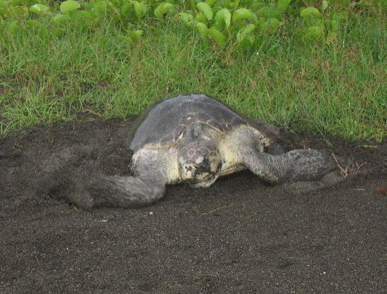 Plaza Resort: A sea turtle laying eggs on our beach