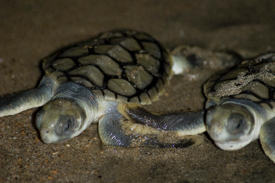 Turtles hatching on Rose Bay Beach in Bowen