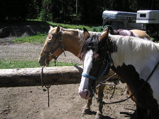 Skyline Guest Ranch and Guide Service: Pawnee and Cody are gentle and sure footed.