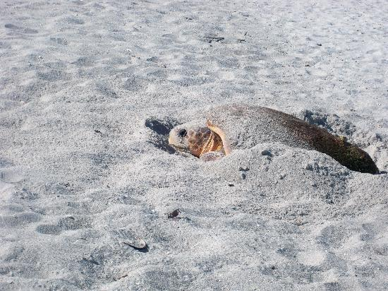 Sea Turtle Laying Eggs Pictures Sea Turtle Laying Her Eggs