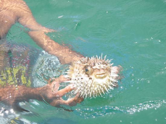 Tambor, Costa Rica: puffer fish/blow fish