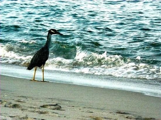 Ocean Lodge: sea bird along the shore....