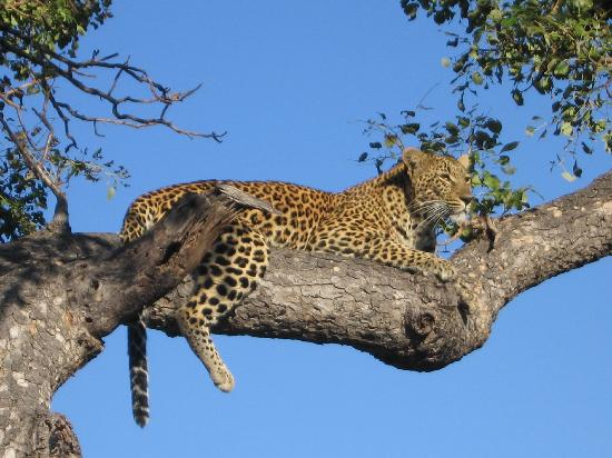 Inyati Private Game Reserve, Sydafrika: Leopard in a Tree