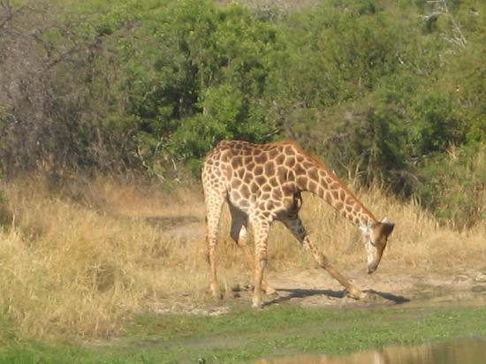 Inyati Private Game Reserve, Sydafrika: Giraffe Getting Down to Drink