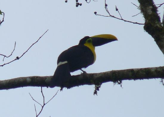 Mindo, Ecuador: Toucan