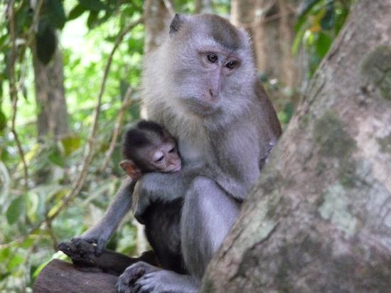 Surat Thani, Tailandia: Monkeys by our treehouse