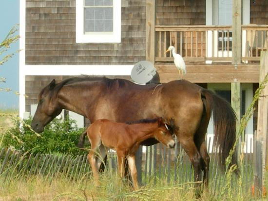 Nags Head Beach Inn : Wild horses of Corolla