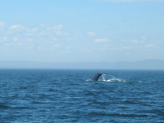 Whale watching nahe les bergeronnes photo de tadoussac for Auberge maison hovington
