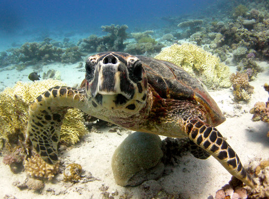 Dahab, Egypt: Turtle..