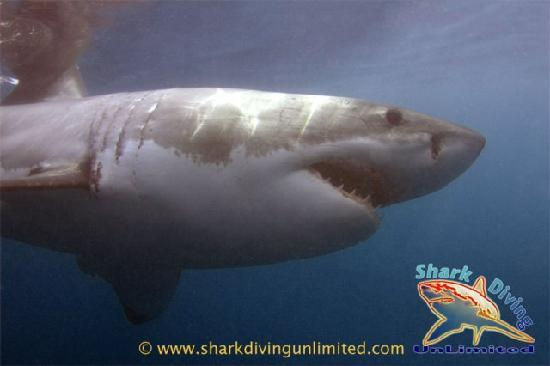 Great White Shark Diving Gansbaai, South Africa