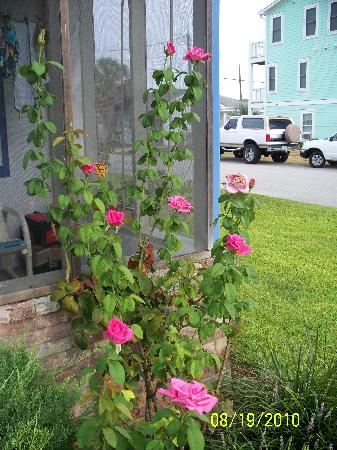 Palm Air Cottages: Picture of the rose bush outside my door