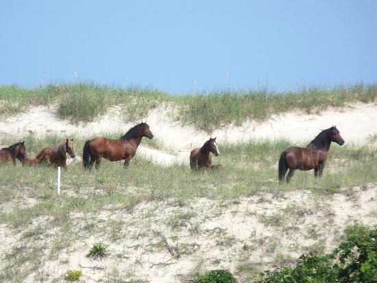 ‪‪Corolla‬, ‪North Carolina‬: A wild horse herd‬