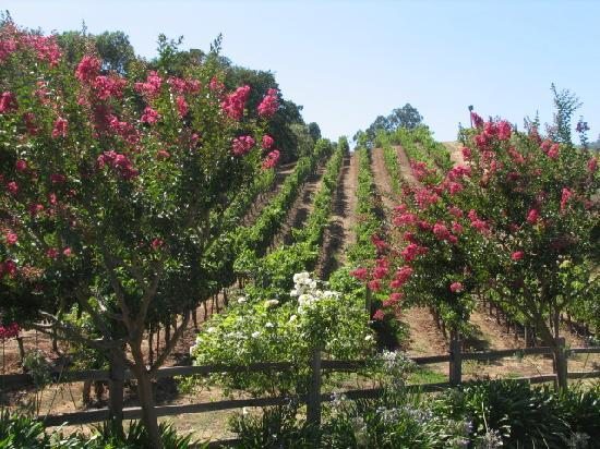 Sonoma County, CA: vineyard