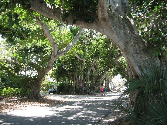 Banyan Trees in historic Boca Grande