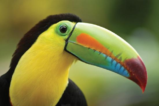 San Jose Island, : Wild Toucans fly right to your table while your eating...so cool