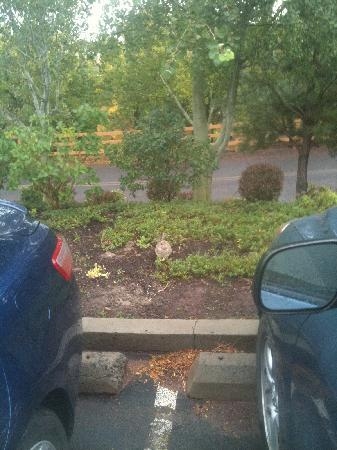 Warm Springs, Oregón: Little rabbit friend in the parking lot