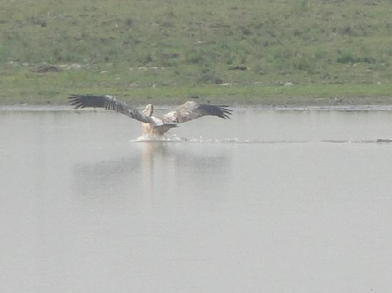 Kaziranga National Park, : Bird flying over water