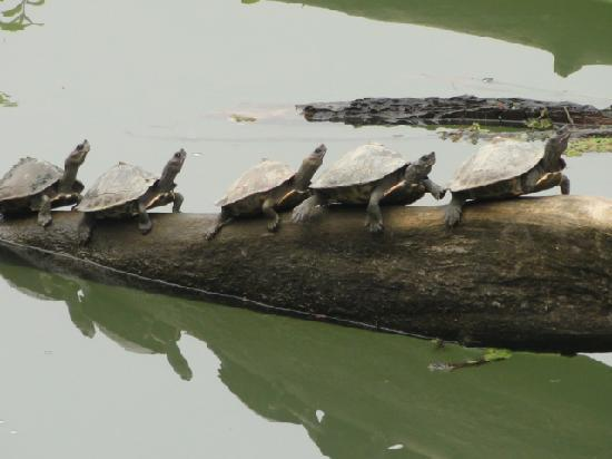 Kaziranga National Park, Indien: Turtles sunbathing