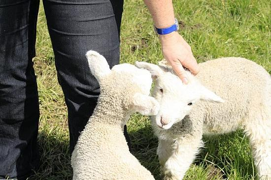Waitomo Farmstay: Petting the lambs