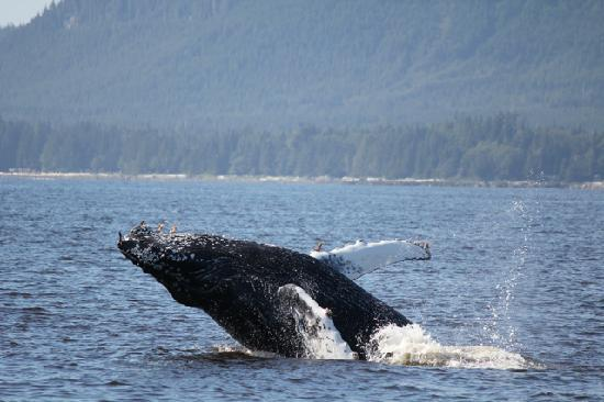 Ucluelet, Canada : Humpback whale 3