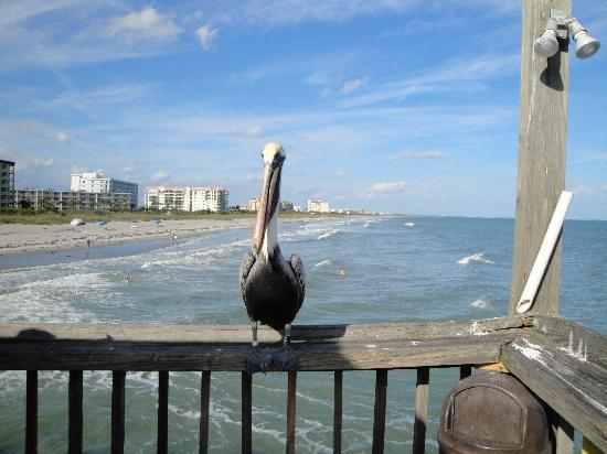 Cocoa Beach, FL: Friendly wildlife on the pier