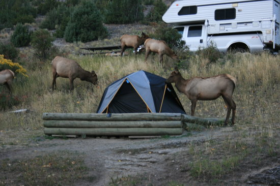 Mammoth Campground: our tent was surrounded by the elks