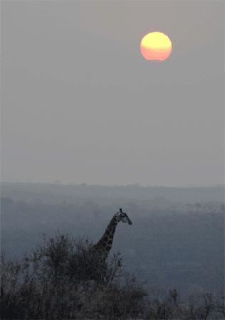 Hluhluwe, Sdafrika: giraffe at sunset at Zulu Nyala