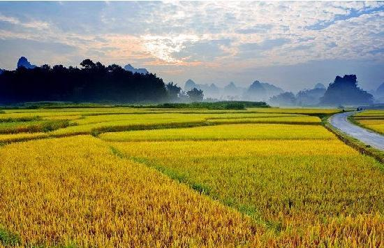rice field in guangxi