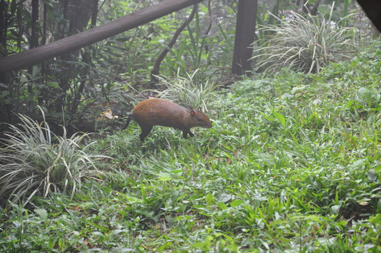Rainbow Valley Lodge: The agouti that came out to bid us adieu