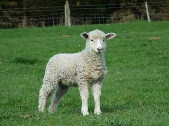 ‪‪The Lamb Inn‬: A Lamb in a farmer's field close by‬