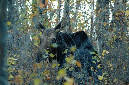 Grand Marais, MN: Moose