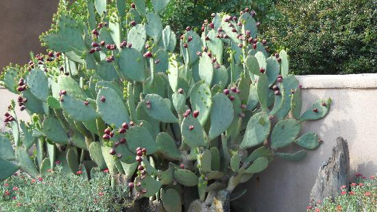 Las Cruces, NM: Cactus in Mesilla Nm