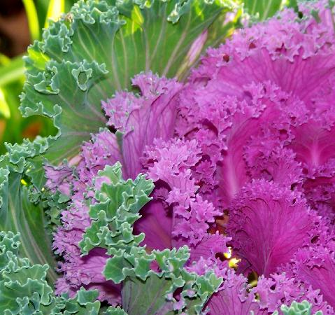 Waterbury Inn: Nice flowers.  This is a photo of some colorful kale.