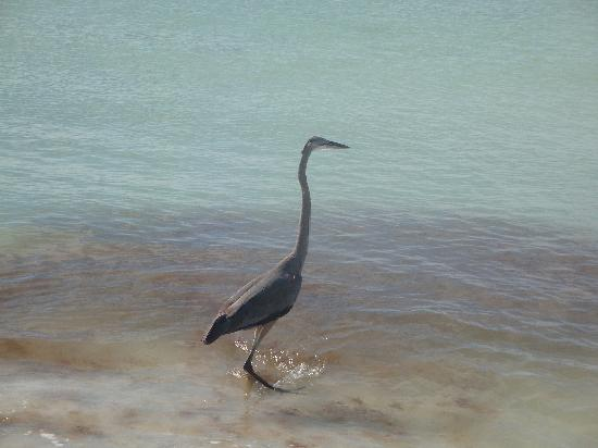Anna Maria Island Blue Heron up close and personal