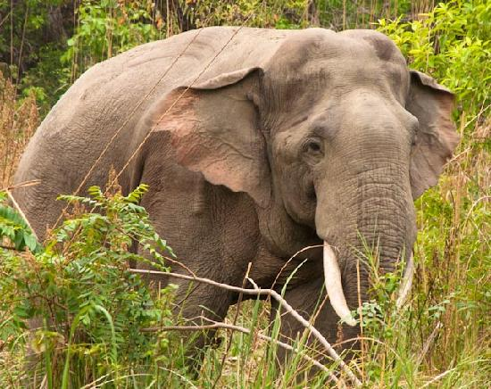 Jim Corbett National Park, Ινδία: lots of elephants, some tuskers but females with calves as well