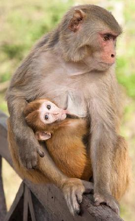 Corbett, India: rhesus macaque mother and baby; this species was everywhere - including in our room at one point