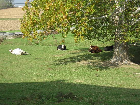 Vogt Farm Bed & Breakfast: The cows that can be seen from the Witmer Room