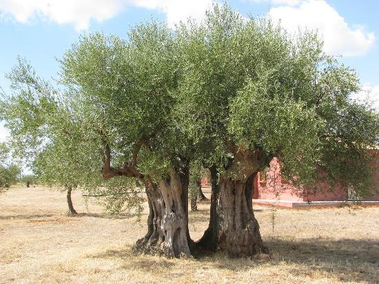 Eumelia Organic Agrotourism Farm &amp; Guest House: olive tree
