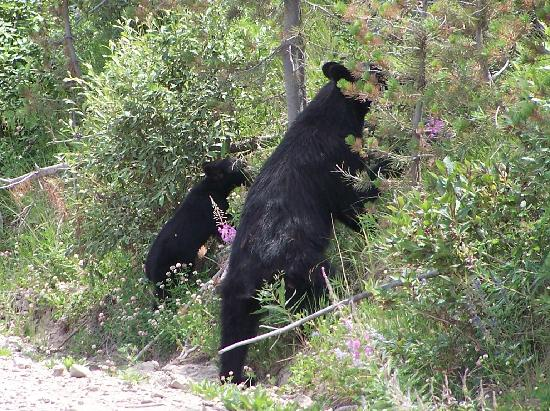 Gardiner, MT : Momma and baby black bear