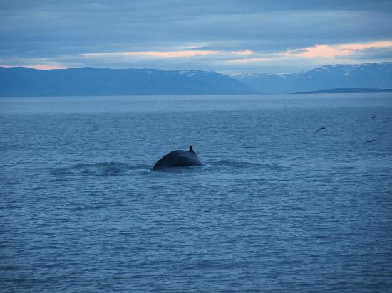 whale watching iceland. This whale watching trip will