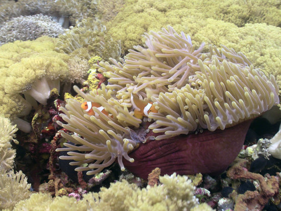 Nusa Lembongan, Indonesia: clown anemone fish