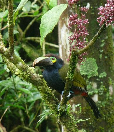 Ginger House: Yellow-eared Toucanet