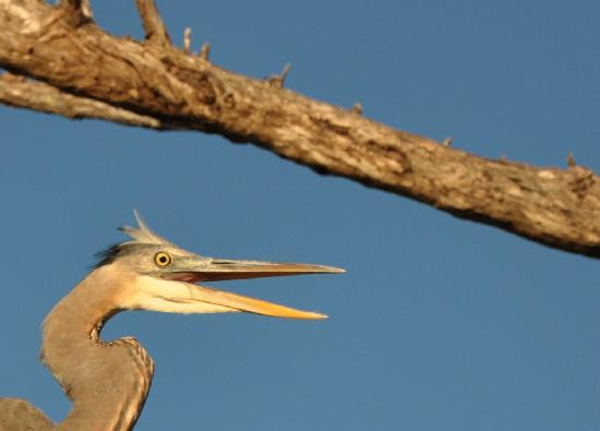 Punta Gorda, FL: Blue Heron