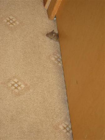 The Courthouse Doubletree by Hilton: A mouse in my room