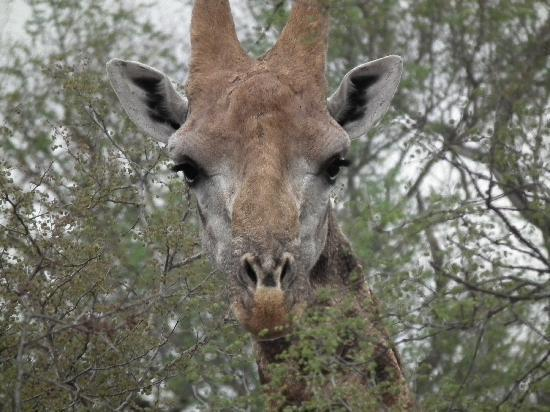 Garonga Safari Camp: Giraffe