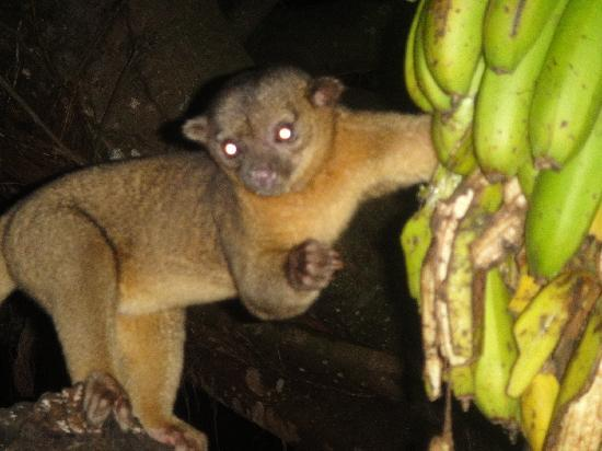 http://media-cdn.tripadvisor.com/media/photo-s/01/b8/b9/55/kinkajou.jpg